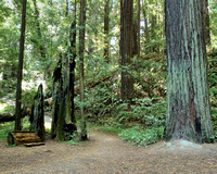 Avenue of the Giants (2)