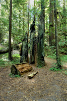 Avenue of the Giants (6)