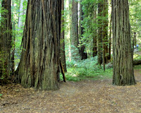 Avenue of the Giants (8)