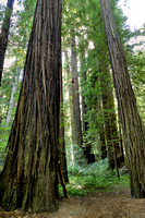 Avenue of the Giants (9)