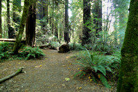 Avenue of the Giants (12)