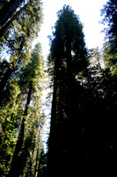 Avenue of the Giants (18)
