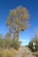 Autumn Cottonwood (2)