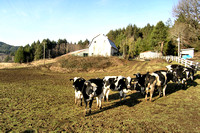 Holsteins in the Pasture