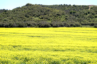Whetstone Hollow Canola Fields